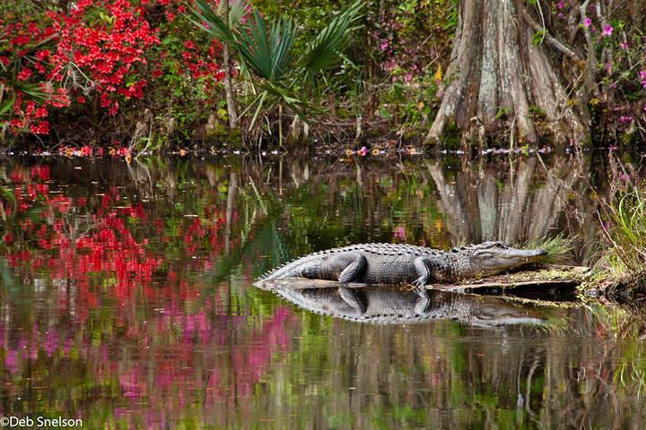 Alligator Magnolia Gardens Charleston Sc South Carolina 2 Flickr