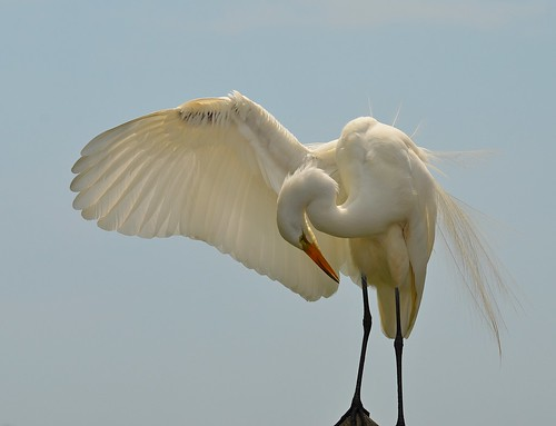 Egret Taking a Bow | by KoolPix