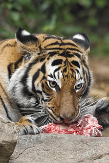 Tiger dinner | by San Diego Zoo Global