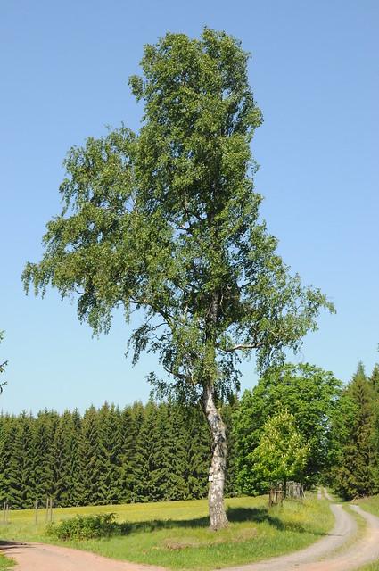 Hänge birke betula pendula harz birkenmoor 1045