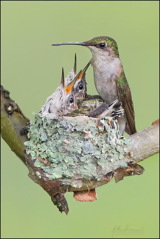 Ruby Throated Hummingbird Nest 9 1 Franklin County Ohio