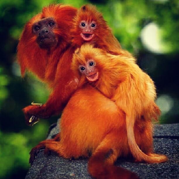nature photography animal fur red monkey tree wild. Black Bedroom Furniture Sets. Home Design Ideas