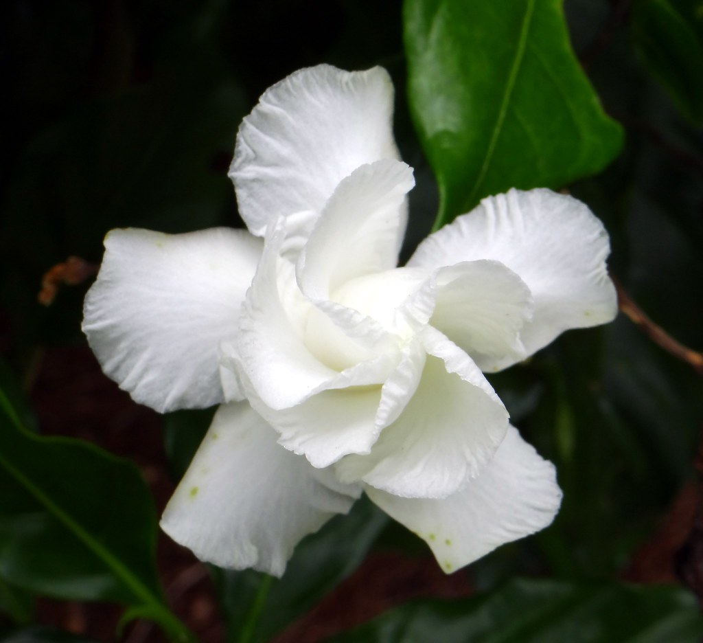 Crepe Jasmine Flore Pleno 4 Known Also By The Following Flickr