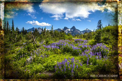 Field of Lupine | by KPortin