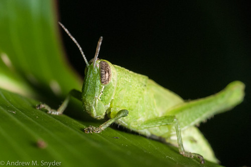 Grasshopper | by Andrew Snyder Photography