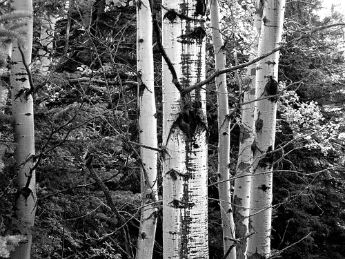 Tree trunks b and w | by wit