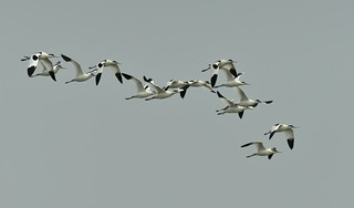 Pied Avocets in Flight | by neilfif11