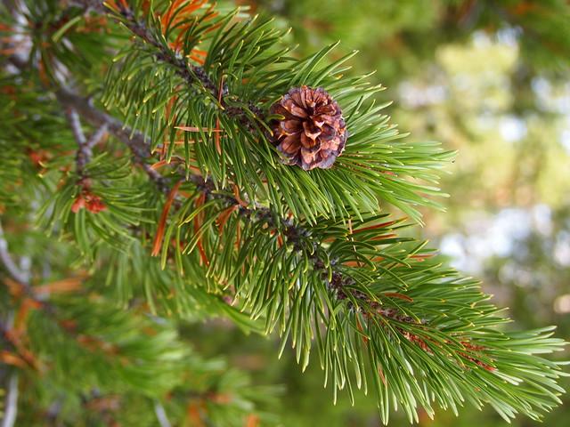 Lodgepole Pine, Pinus contorta