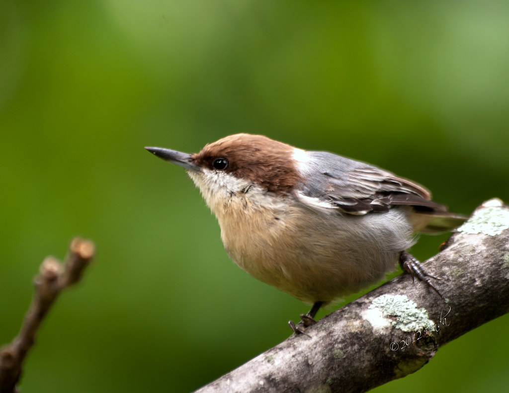 Brownheaded Nuthatch Identification All About Birds