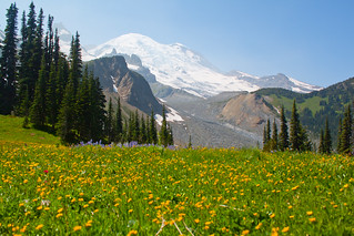 Wildflowers with Mt. Rainier backdrop | by abhinaba