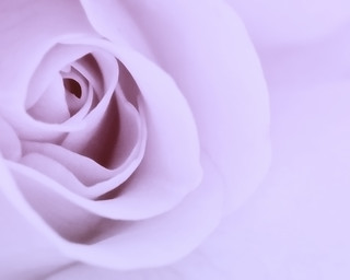 Carpet Rose | by Denise Trocio (D Trocio Photography)