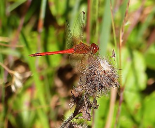 Ruby Meadowhawk | by Krittergirl
