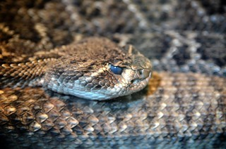Rattle Snake | by Phil Ostroff