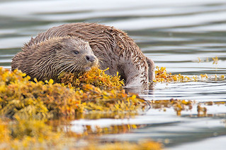 Otter | by Ian C