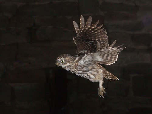 Little Owl | by roy rimmer