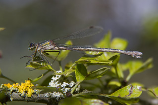Emerald Damselfly 2 Pitstone 2012 | by Lakes4life
