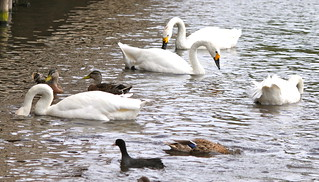 Bewick's Swans and friends | by S C photos