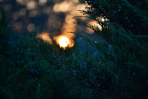 sunset through the evergreens | by heartinhawaii