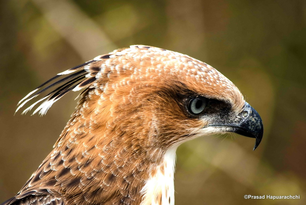 Crested Hawk Eagle Changable Hawk Eagle2 Spizaetus Cirr Flickr