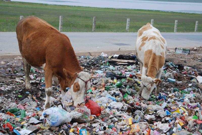 在甘南藏族自治州的尕海,塑膠垃圾氾濫,牛隻走到被隨意棄置的垃圾場上,把塑膠袋當做草吃。圖片來源:本報資料照。