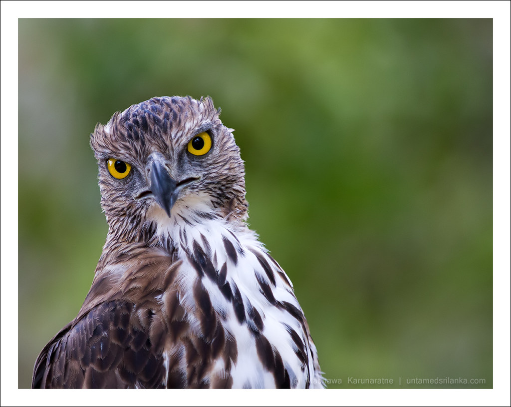 The Changeable Hawk Eagle Or Crested Hawk Eagle Nisaetus Flickr