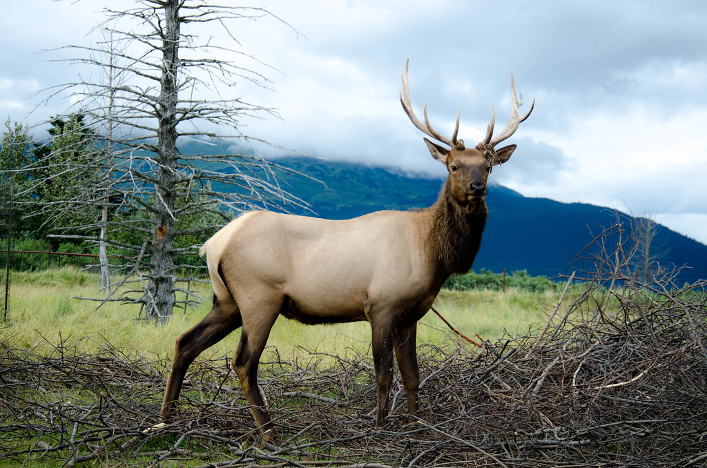 Alaskan Elk Turnagain Arm Alaska Summer 2012 Alaskan