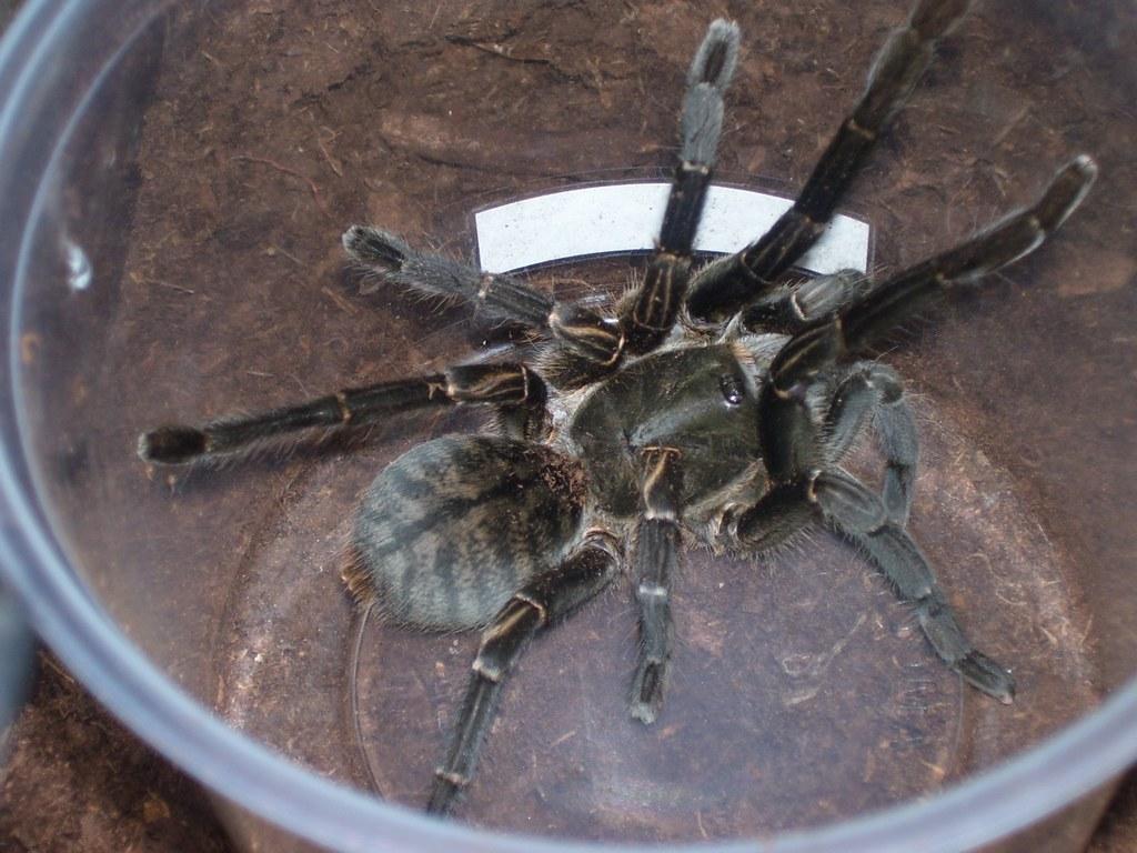 Haplopelma Vonwirthi Tarantula Haplopelma Vonwirthi