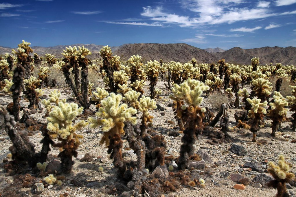 Cholla Cactus Garden This Is Cylindropuntia Bigelovii A S Flickr
