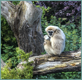 White Gibbon | by Chris Bull1961