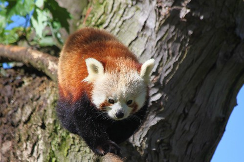 Red Panda Walk | by Heaven`s Gate (John)