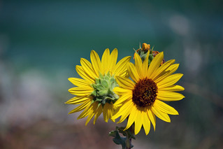 double-sunflower | by heartinhawaii