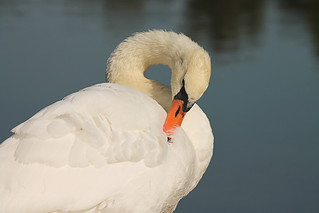 Male Mute Swan | by Frankhuizen Photography