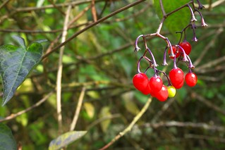 Shiny Berries | by Mr.LeeCP