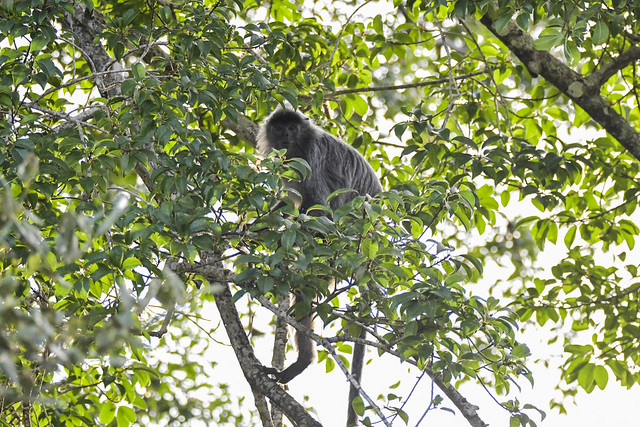 According to Ah lee this is a rare sighting of the Silver Leaf Monkey because they are very shy. This is really turning out to be a great trip after all.