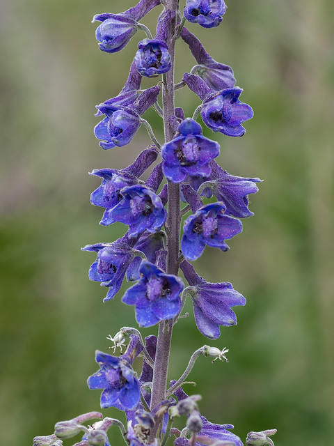 Chiricahua Mountain Larkspur