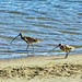 Curlew and Godwit