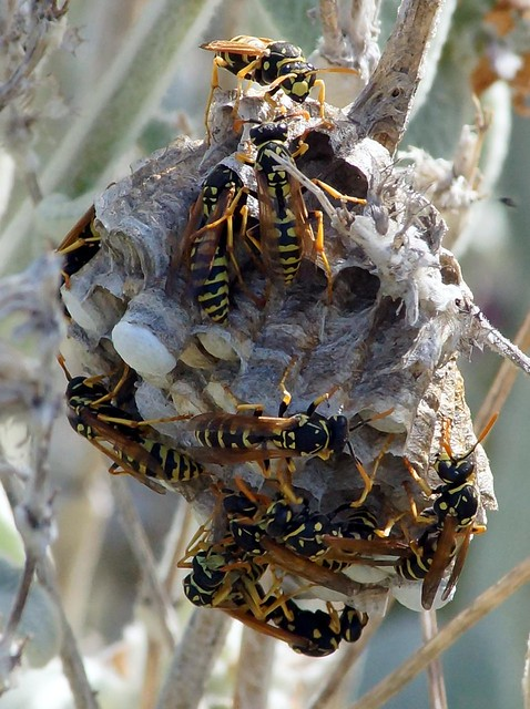 Yellow Jacket Nest | Flickr - Photo Sharing!