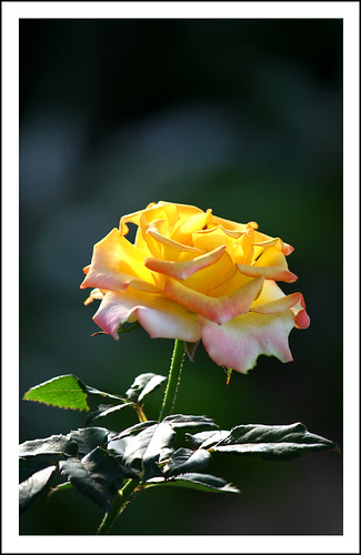 Yellow Rose | by Anton Photos