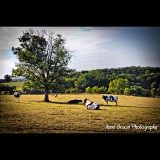 #cows on the hill #pasture | by amiMaija (Anne Brown Photography)