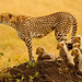 """The Matriarch"" - Cheetah with 5 cubs in the Masai Mara"