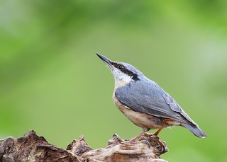 nuthatch | by Karen Summers (kaz10)