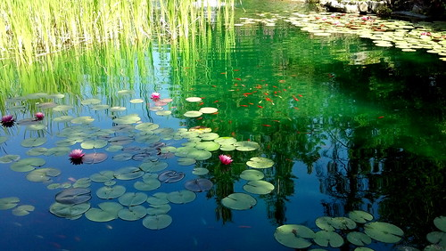 Water Lillies Bonners Ferry, Idaho 8-19-12 | by stevenascroggins