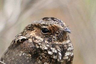 Endangered Puerto Rican nightjar: face | by USFWS/Southeast