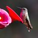 Hummingbird at our cabin, Duck Creek Village, UT