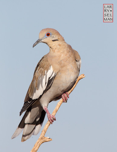 White-winged Dove | by lselman