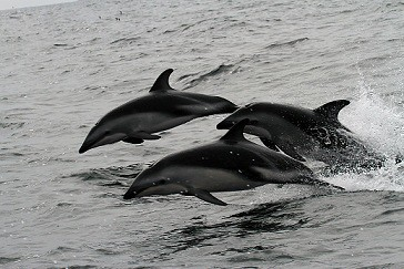 Dusky dolphins - Whale and dolphin watching with Nature Expeditions in Peru | by stefanaustermuhle