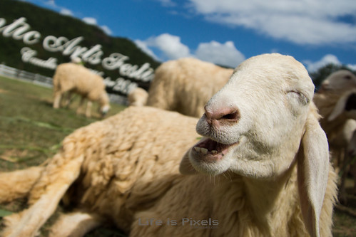 A Happy Sheep | by LifeisPixels - Thanks for 5 MILLION views!