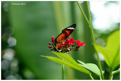 Butterfly | by Tiniroma ^^