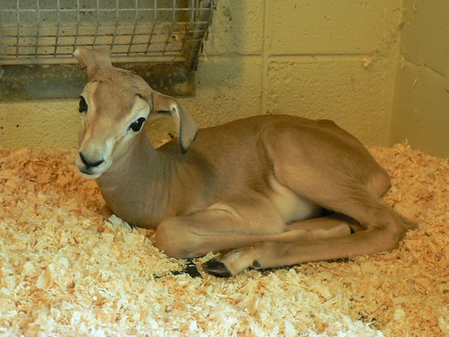 Dama Gazelle Born at the Smithsonian's National Zoo | by Smithsonian's National Zoo