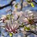 Pink Magnolia Blossom in Paris